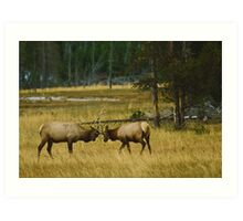 Elk Bulls Sparring Art Print