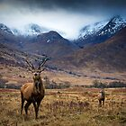 Glen Etive Red Deer by David Mould