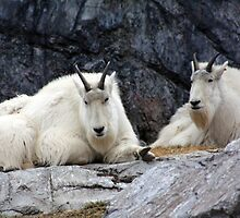 Rocky Mountain Goats by Alyce Taylor