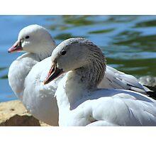 Snow Geese ~ Migrants Photographic Print