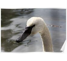Trumpeter Swan Poster