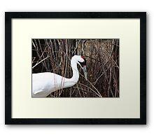 Whooping Crane Framed Print