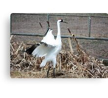 Whooping Crane Canvas Print