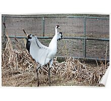 Whooping Crane Poster