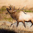 Elk Rut 2 by kurtbowmanphoto