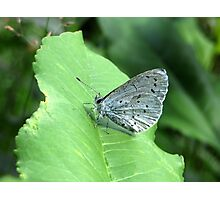 The Holly Blue Photographic Print