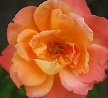 Peach Rose by Marie Brown ©