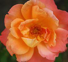 Peach Rose by Marie Brown ©