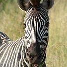 Zebra by Elizma Knowles