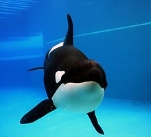 Orca by Christopher Meder Photography