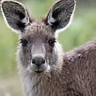 Australian Kangaroo by Bluesoul Photography
