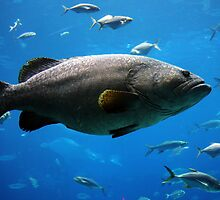 Large Grouper by Christopher Meder Photography