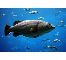 Large Grouper Photographic Print