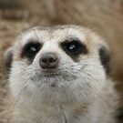 Audition for Meerkat Manor by Elizma Knowles