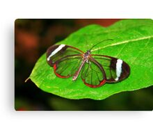 Glasswing With Open Wings Canvas Print