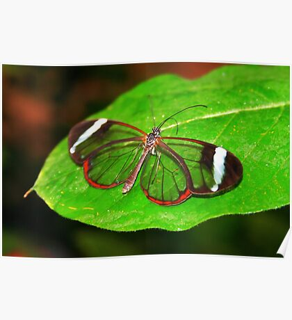 Glasswing With Open Wings Poster