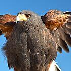 Harris Hawk Beauty by Judy Grant