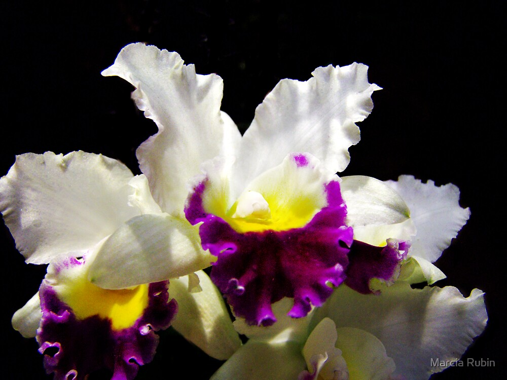 Orchid Collection - 2 by Marcia Rubin