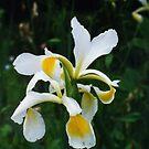 Sweet Iris. by lenslife