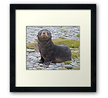 Got Fish??? (Antarctic Fur Seal Pup, South Georgia) Framed Print