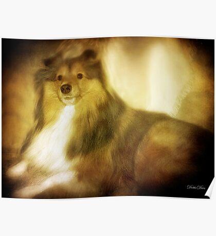 Shetland Sheepdog Poster