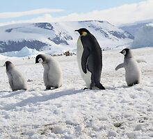 Emperor Penguins at Snowhill Island, Antarctica by chrisepting