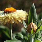 Paper daisies by Karen Tregoning
