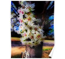 Bradford Pear Blossoms - HDR Poster