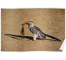 Yellow Billed Hornbill with Scorpion Meal taken at Kruger National Park Poster
