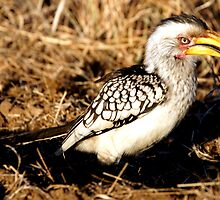 Yellow Billed Hornbill - Kruger national Park by eyedocbrian