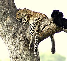 Leopard resting time - Kruger National Park by eyedocbrian