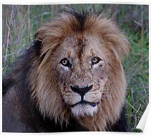 Scarred Patriarch - Kruger National Park Poster