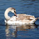 Juvenile Mute Swan by larry flewers