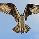 Osprey in flight up close! by jozi1