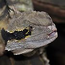 Australian Water Dragon (Physignathus lesueurii) by Geoff Beck