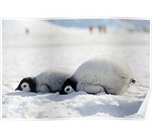 Emperor Penguin chicks at Snowhill Island, Antarctica Poster