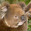 Koala #1 by Aden Brown