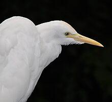 Intermediate Egret (Ardea Intermedia) by Geoff Beck