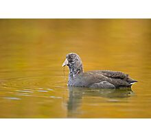 Feeding Juvenile Coot Photographic Print