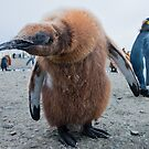 Strange Encounter; King Penguin Chick checking out the visiter by Robert van Koesveld