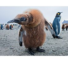 Strange Encounter; King Penguin Chick checking out the visiter Photographic Print