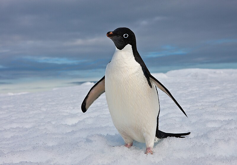 Images of adelie penguins