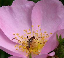 Beetle on Rose of Virginia by SenskeArt