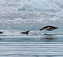 Snorkelling Gentoo Penguins by Robert van Koesveld