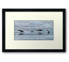 Snorkelling Gentoo Penguins Framed Print