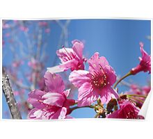 Cherry Flower Poster