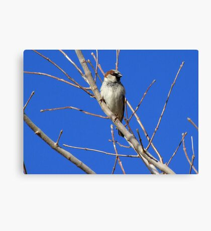 House Sparrow ~ Male Canvas Print