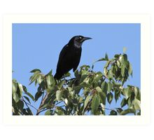 Great-tailed Grackle ~ Male Art Print