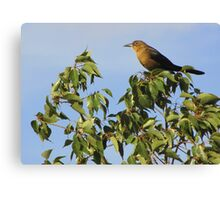 Great-tailed Grackle ~ Female Canvas Print