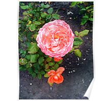 Beautiful Pink Rose in Garden Poster